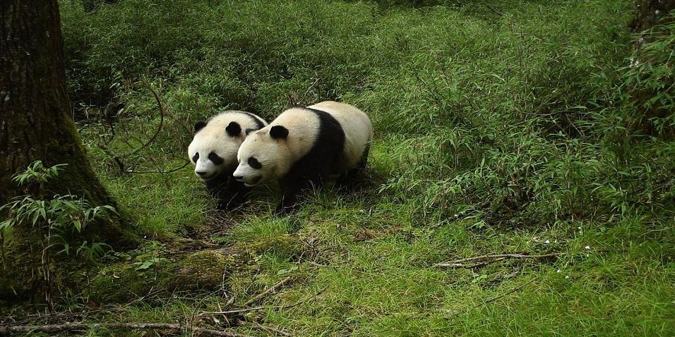 首次!大熊猫国家公园四川片区拍摄到野生大熊猫求偶画面